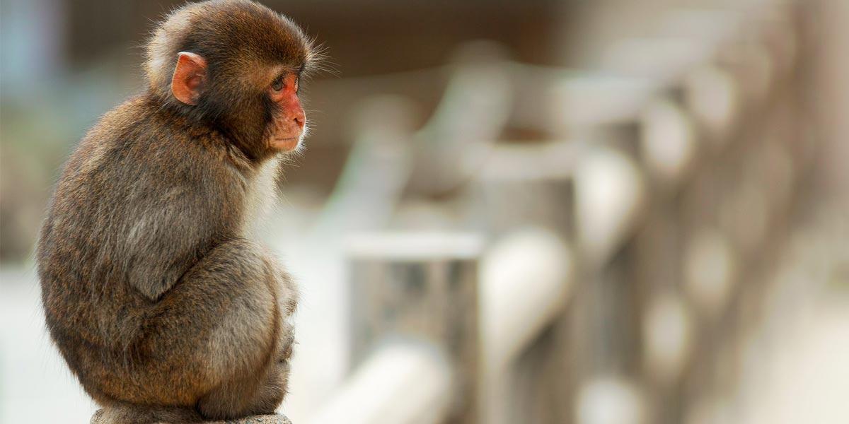 paralysed-monkey